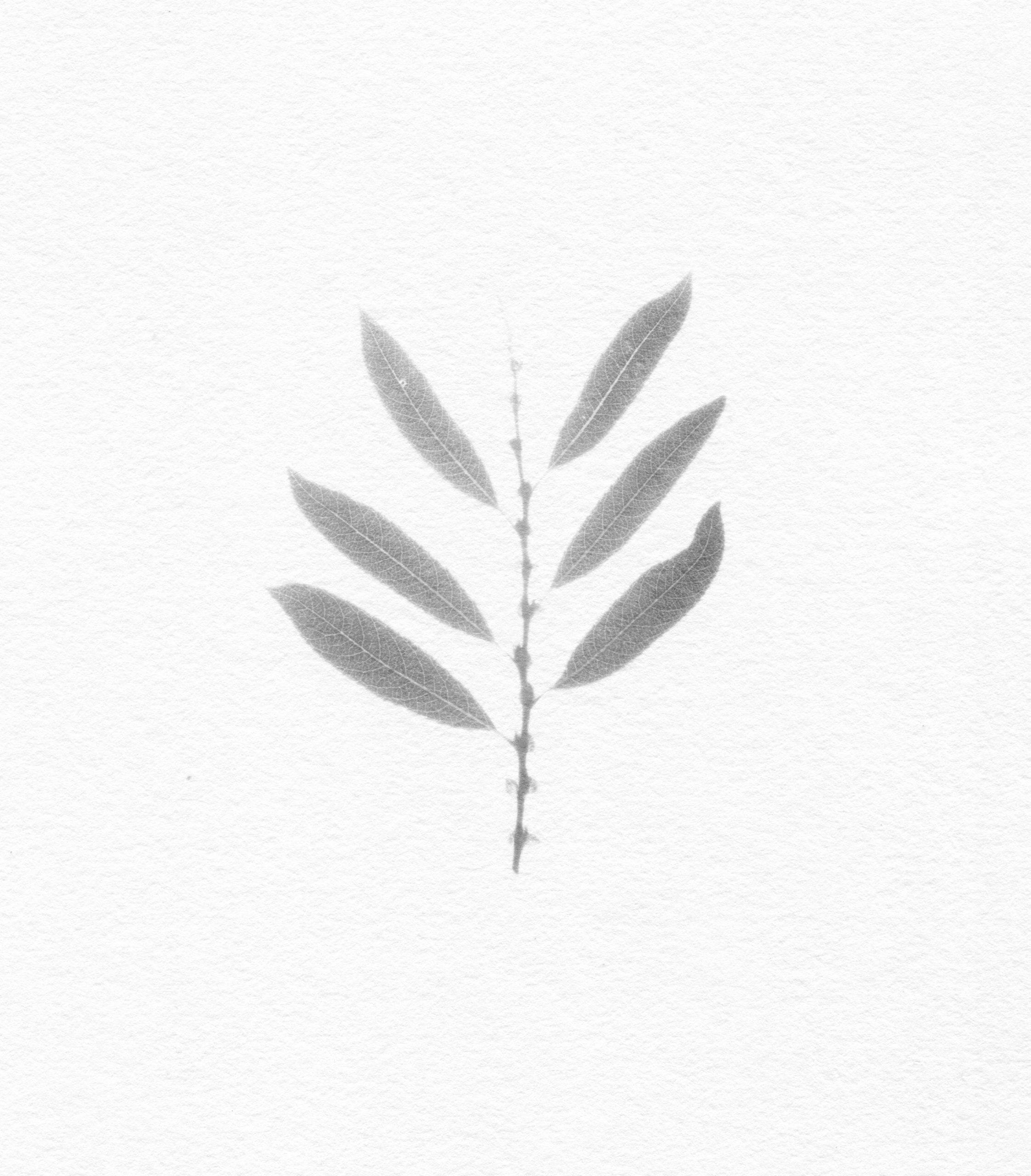 Nicholas Fisher, Salix triandra (Almond Willow)