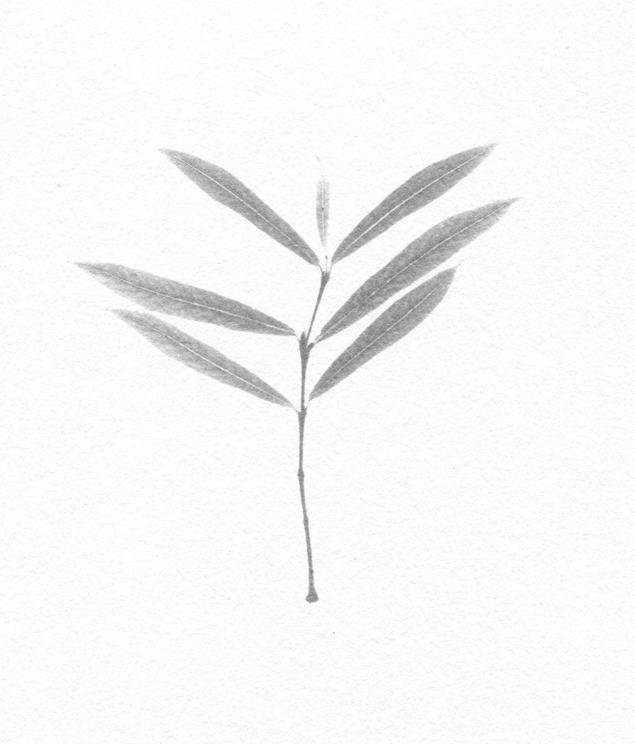 Nicholas Fisher, Salix x forbyana (Fine Osier)
