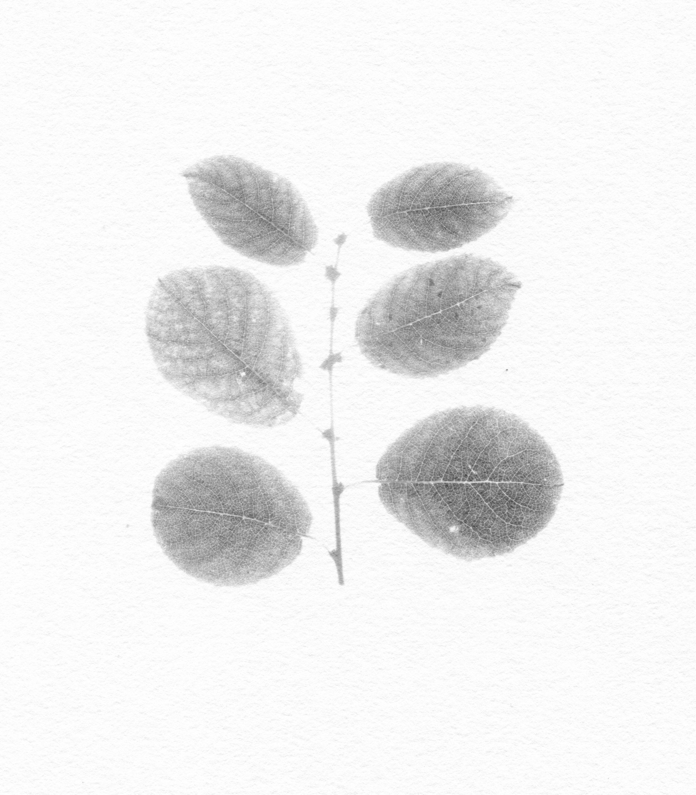Nicholas Fisher, Salix x latifolia (Goat Willow x Dark-leaved Willow)