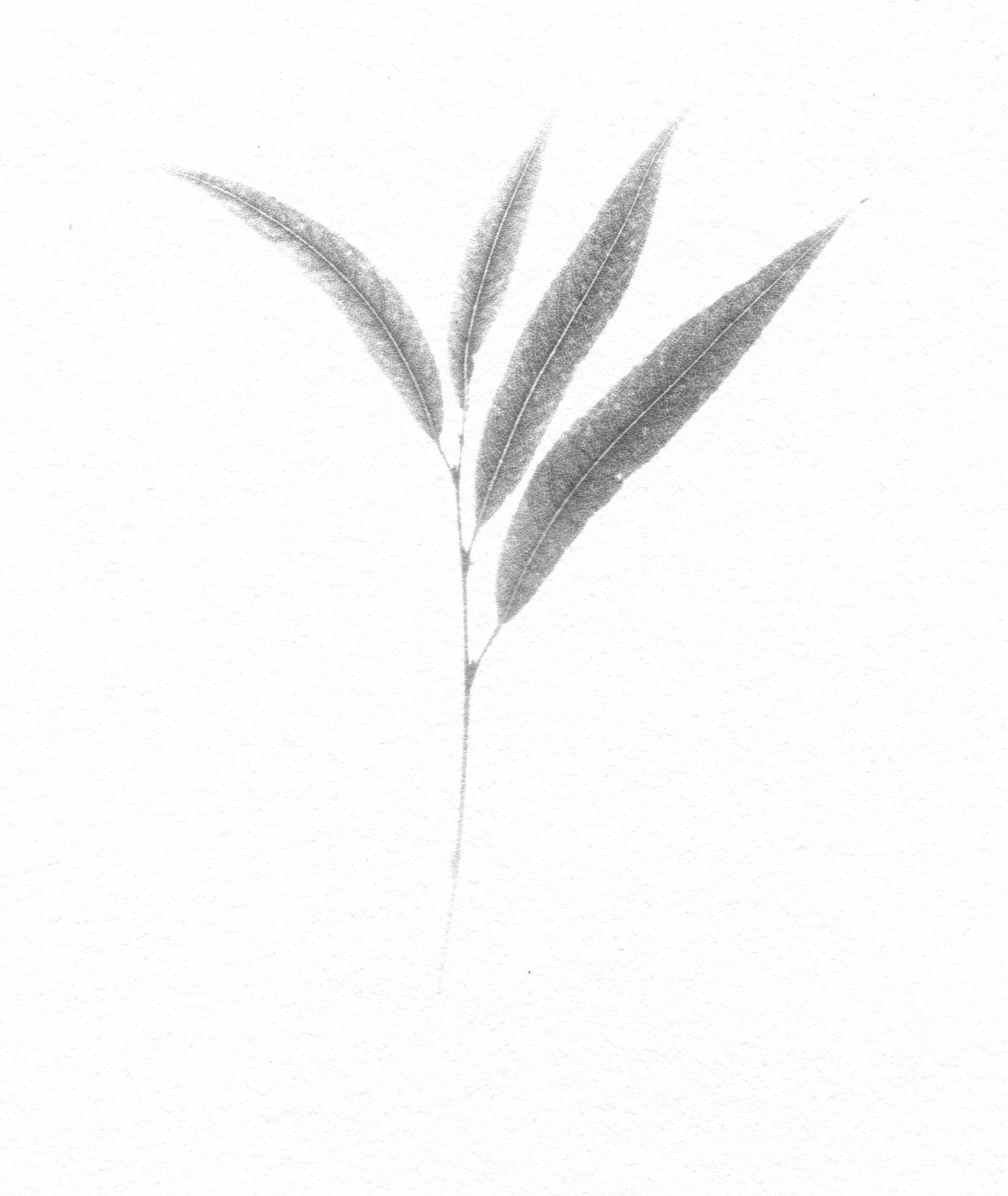 "Nicholas Fisher, Salix x pendulina var elegantissima (""Thurlow"" Weeping Willow)"